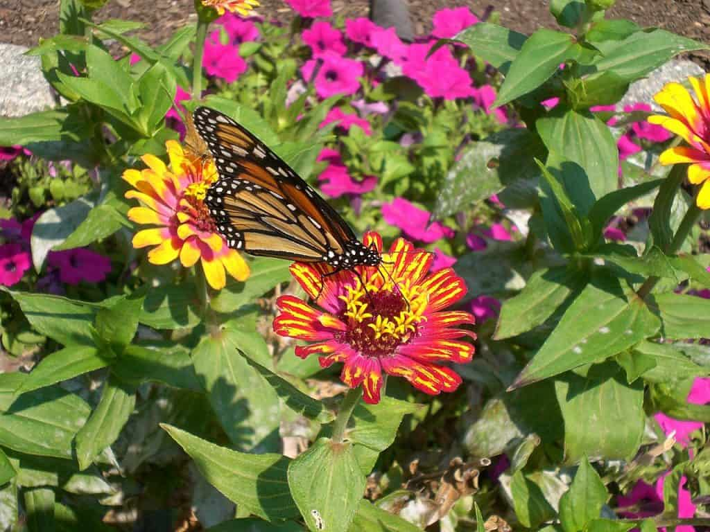 A Monarch butterfly on a flower at the Botanical Garden