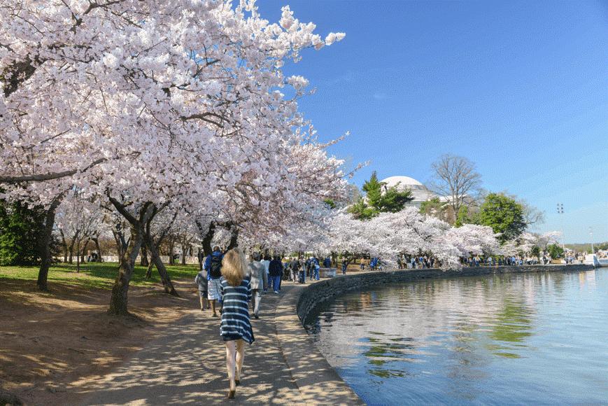 Washington DC Cherry Blossom Park