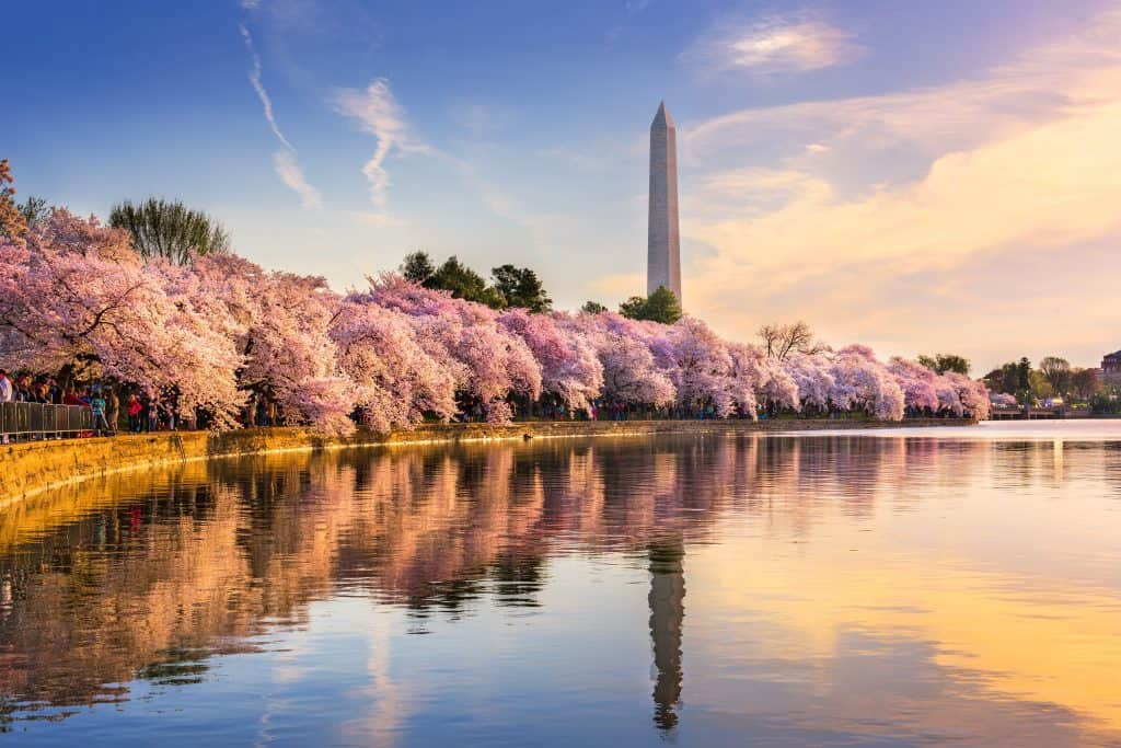 Cherry Blossoms Blooming in DC